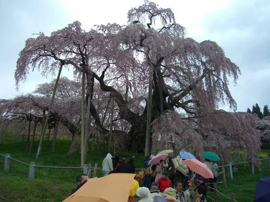みちのく観桜行 掉尾 (三春の滝桜)_d0065324_18293561.jpg