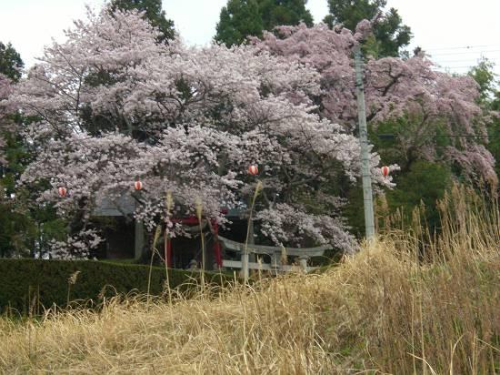 みちのく観桜行 掉尾 (三春の滝桜)_d0065324_18373560.jpg