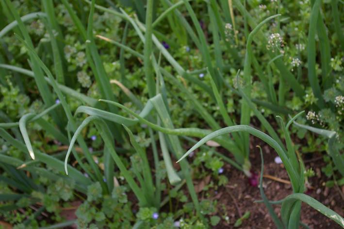 ジャガイモの芽が出た!タマネギと雑草の共存は?(4・17)_c0014967_23574553.jpg