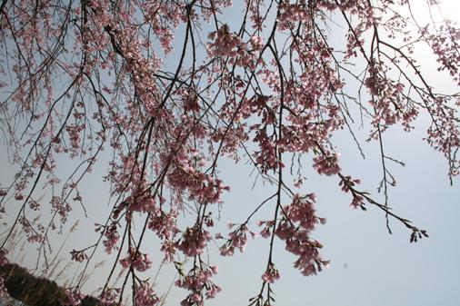 お花見_c0140599_18395323.jpg
