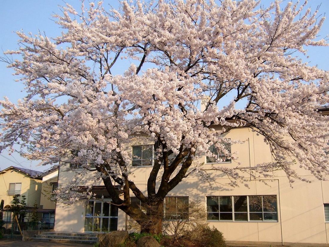 桜マップ 市街地(訂正版)_d0001843_2220396.jpg