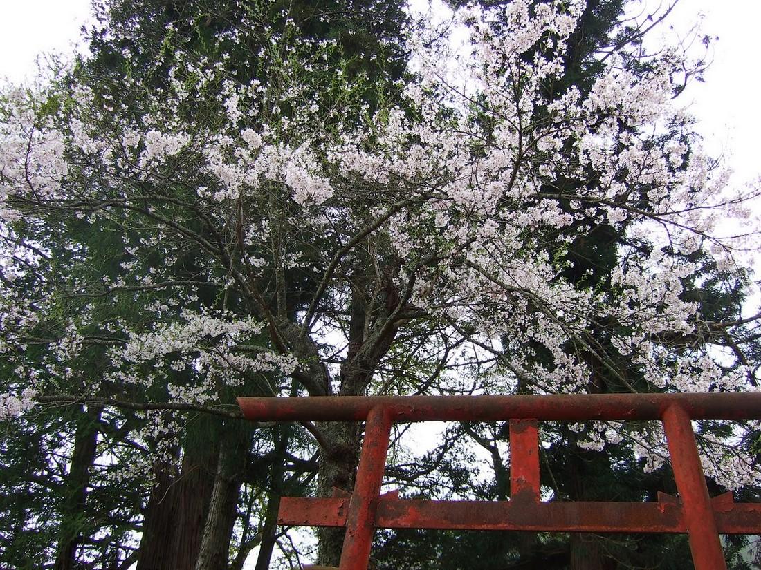 桜マップ 市街地(訂正版)_d0001843_22325399.jpg
