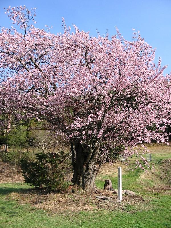 遠野桜マップ(広域)_d0001843_23542639.jpg