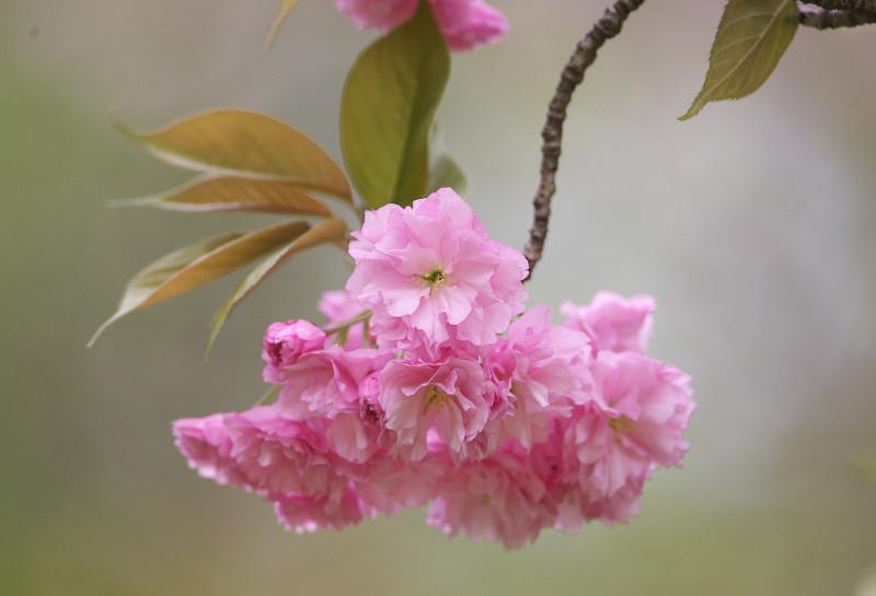 続八重桜と..._d0125872_20125226.jpg