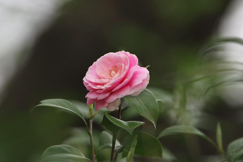 続八重桜と..._d0125872_20132546.jpg