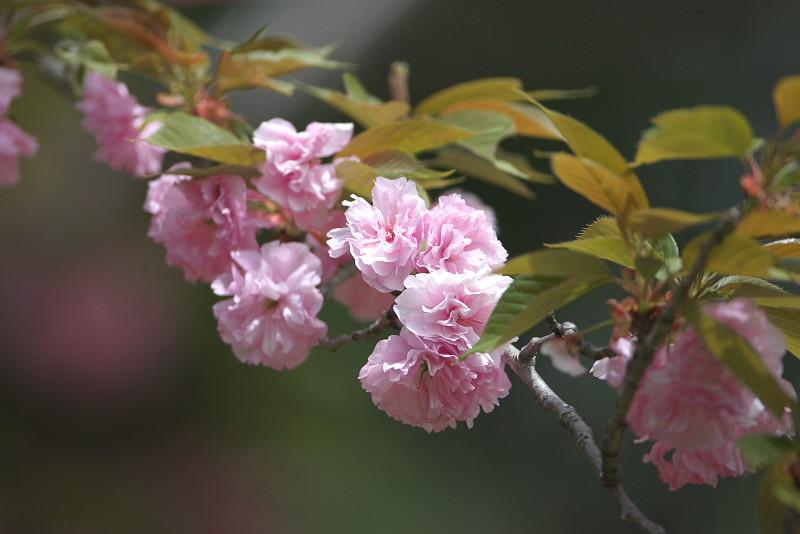 続八重桜と..._d0125872_201342.jpg