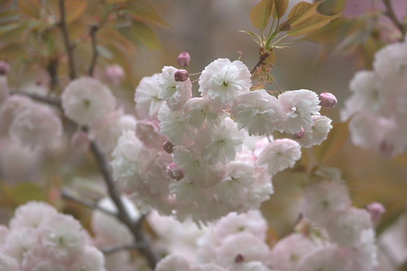 続八重桜と..._d0125872_2013786.jpg