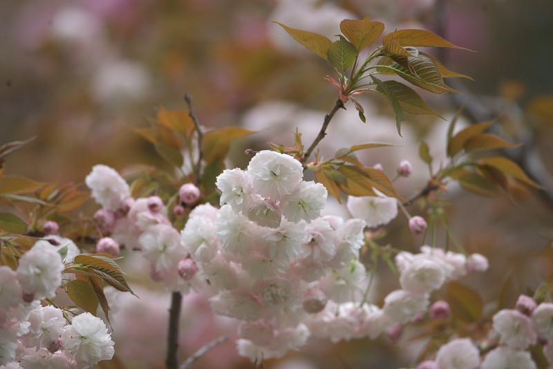 続八重桜と..._d0125872_2015665.jpg