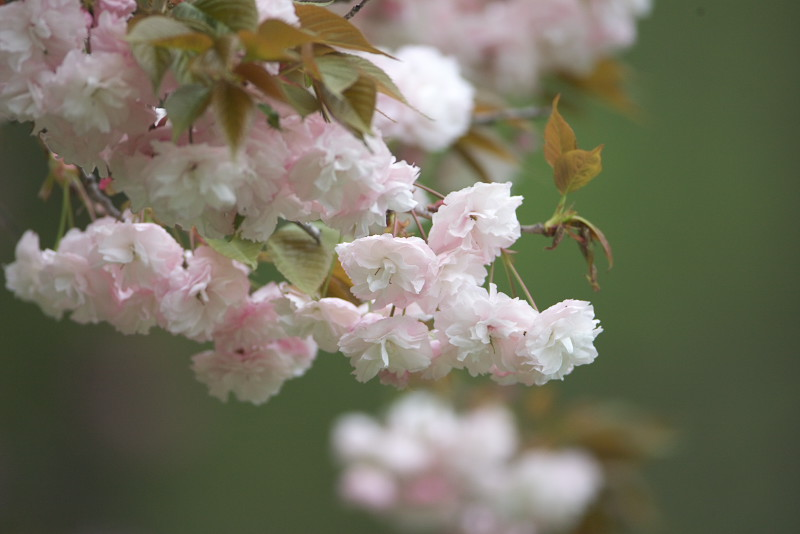 続八重桜と..._d0125872_2021196.jpg