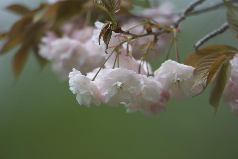 続八重桜と..._d0125872_2022649.jpg