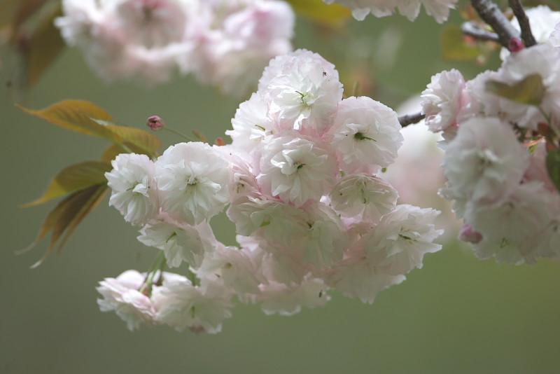 続八重桜と..._d0125872_2024274.jpg
