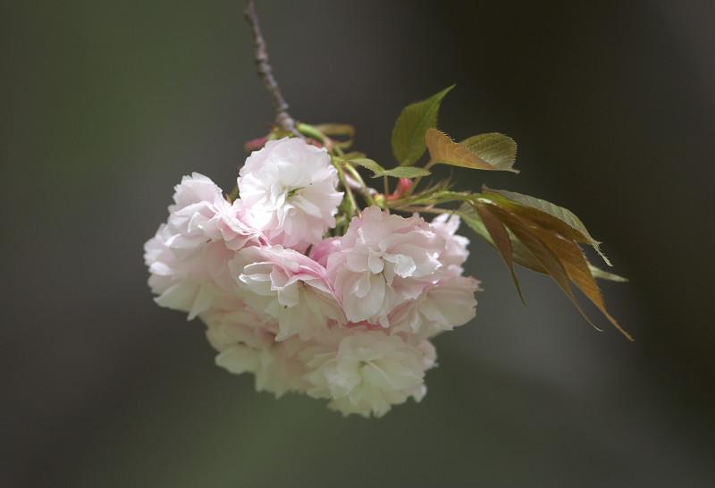 続八重桜と..._d0125872_2025249.jpg