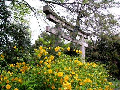 梨の木神社 ヤマブキ_e0048413_22331450.jpg
