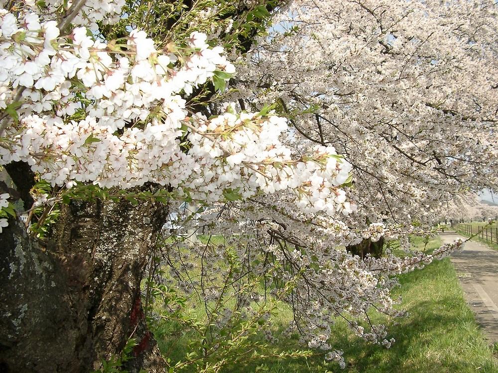 遠野桜マップ(広域)_d0001843_23175636.jpg