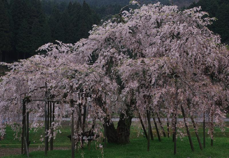 畑のしだれ桜_f0155048_22474613.jpg