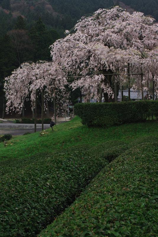 畑のしだれ桜_f0155048_22484182.jpg