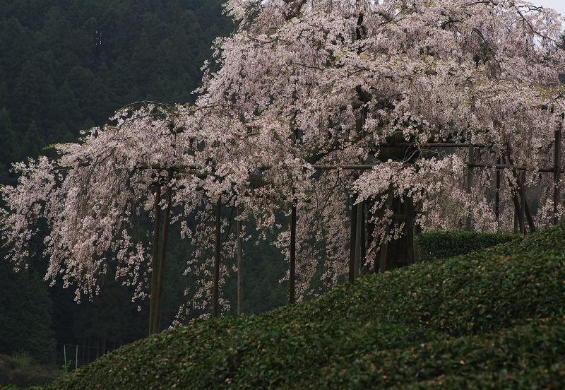 畑のしだれ桜_f0155048_2249166.jpg