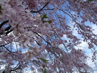 しだれ桜_b0117564_21401756.jpg