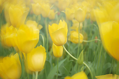 2008-04-20昭和記念公園deチューリップ_c0135079_1641593.jpg