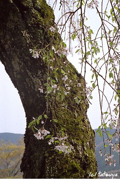 Apr.  20  (sun)  長谷寺の桜 3_f0139991_22261737.jpg