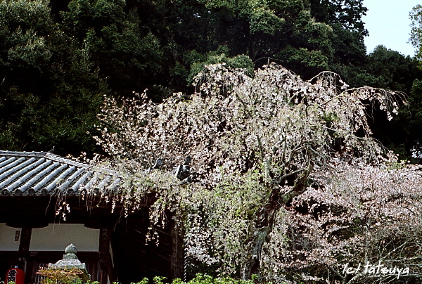Apr.  20  (sun)  長谷寺の桜 3_f0139991_2226269.jpg