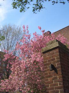 cherry tree._f0064823_044199.jpg