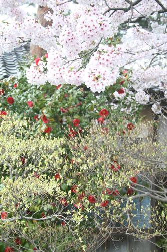 春爛漫_a0099628_5244886.jpg