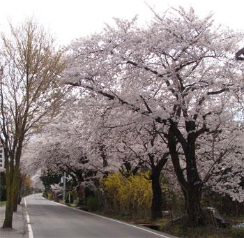 【今年も桜のトンネルが...】_b0087891_1285658.jpg