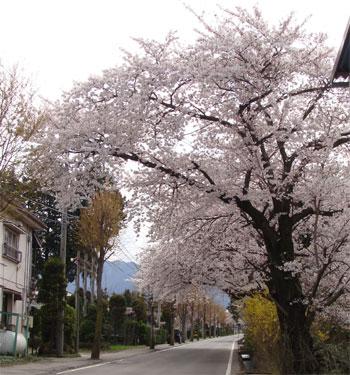 【今年も桜のトンネルが...】_b0087891_1291238.jpg