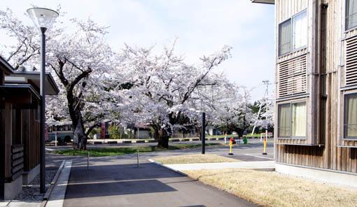 桜と国際教養大学宿舎_e0054299_11112821.jpg