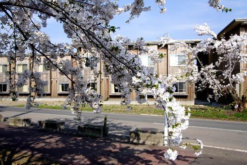 桜と国際教養大学宿舎_e0054299_119018.jpg