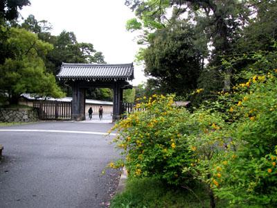 京都御苑 やまぶき_e0048413_21444532.jpg