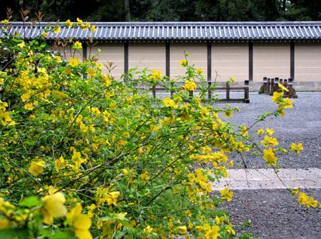 京都御苑 やまぶき_e0048413_2145160.jpg