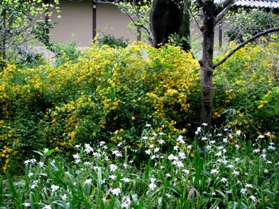 京都御苑 やまぶき_e0048413_2145378.jpg