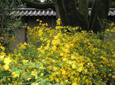 京都御苑 やまぶき_e0048413_21455320.jpg