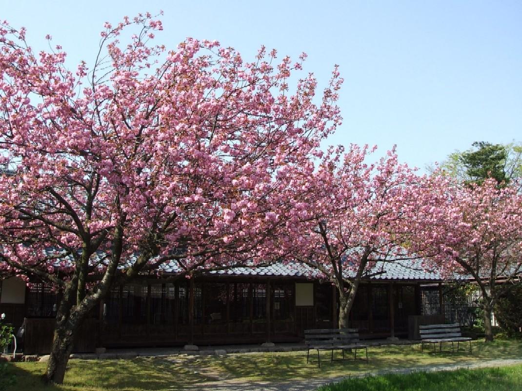 八重桜が満開です☆_e0135219_19124354.jpg