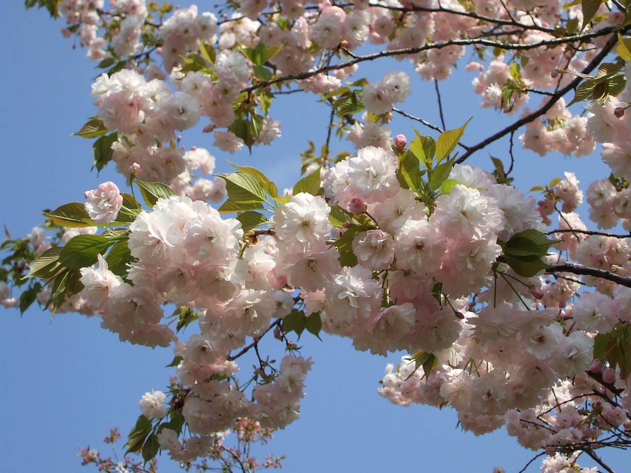 八重桜が満開です☆_e0135219_196633.jpg
