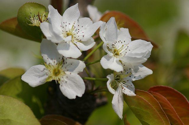 梨の花咲く_d0043136_1630489.jpg