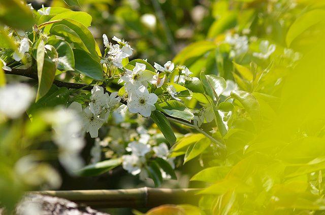 梨の花咲く_d0043136_16312420.jpg