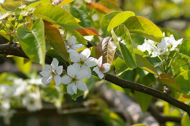 梨の花咲く_d0043136_1631933.jpg