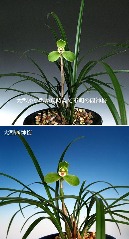 ◆中国春蘭「西神梅」                No.258_d0103457_034332.jpg