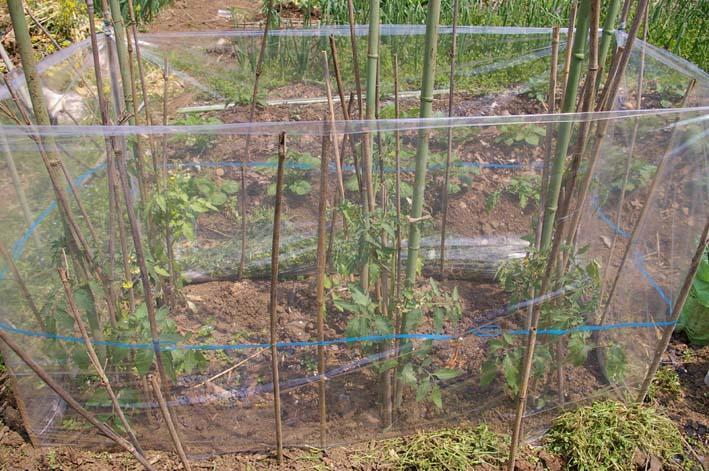 キュウリの苗は4・22、トマトは4・19に植え付け完了_c0014967_21371040.jpg