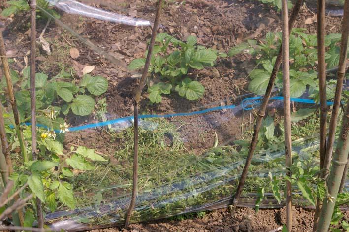 キュウリの苗は4・22、トマトは4・19に植え付け完了_c0014967_21385445.jpg