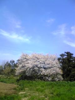 山櫻_e0063268_13133715.jpg
