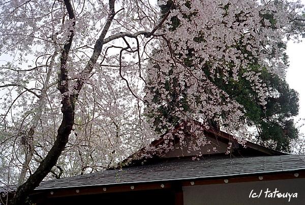 Apr.  22  (tue)  長谷寺の桜 4_f0139991_2211228.jpg