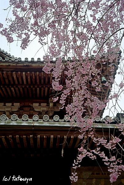Apr.  22  (tue)  長谷寺の桜 4_f0139991_22114149.jpg