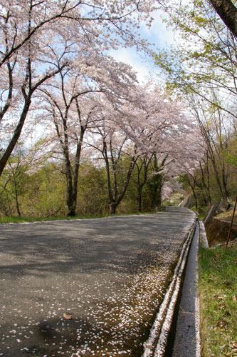 美の山公園の桜_e0062530_18325855.jpg