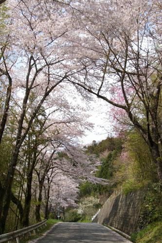 美の山公園の桜_e0062530_1837281.jpg