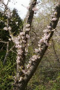 美の山公園の桜_e0062530_18391224.jpg