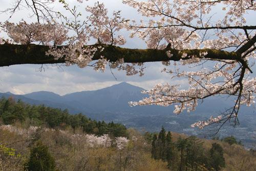 美の山公園の桜_e0062530_18403670.jpg